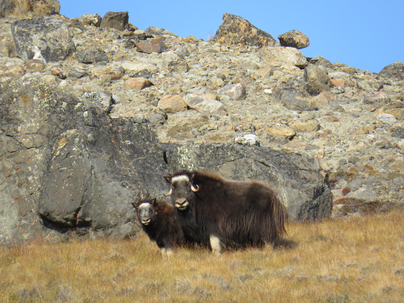 Greenland Expedition - Musk Oxen. Photo: Becky Hopkins