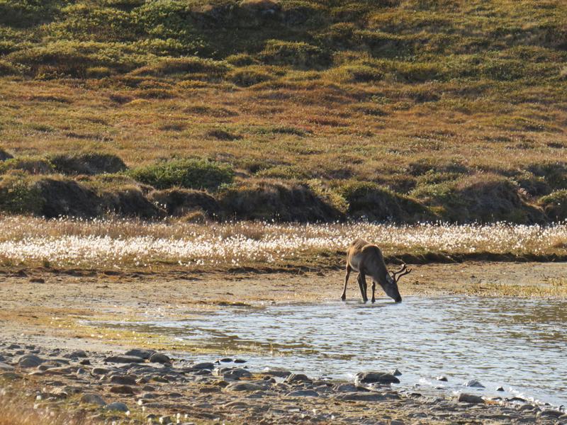 Greenland Expedition - Reindeer Watch. Photo: Becky Hopkins
