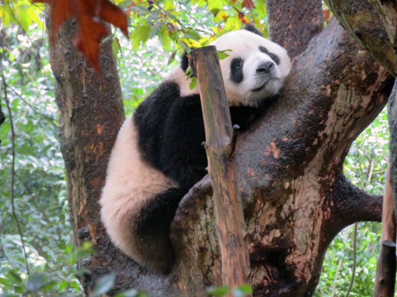 Staff Blog Tom Richardson trekking in Sichuan China - Panda