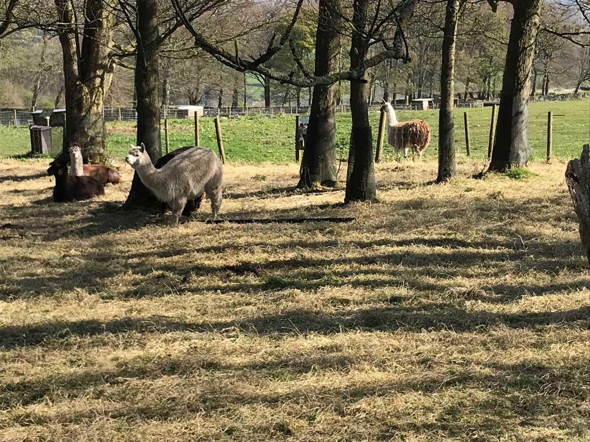 Pennine Way Lockdown - Llama farm, Ringinglow